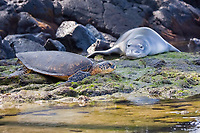 Hawaiian monk seal, Neomonachus schauinslandi, and green sea turtle, Chelonia mydas, resting on shoreline at Kahalu'u Beach Park, Kahaluu Beach, Kailua Kona, Hawaii Island ( the Big Island ) Hawaiian Islands ( Central Pacific Ocean )