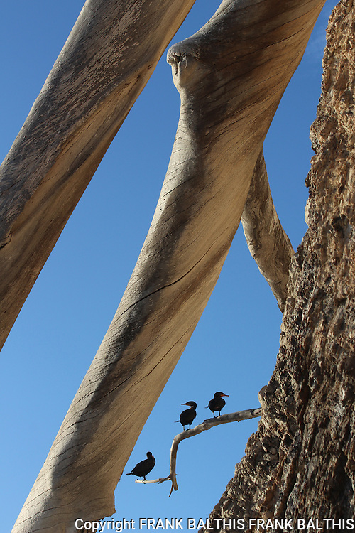 Double-crested cormorants in Santa Barbara.  Hendry's Beach