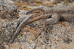 Two tailed Wall Lizard (Gallotia caesaris), La Gomera, Canary Islands