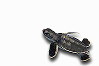 green sea turtle hatchling, Chelonia mydas, endangered species, Bahamas, Atlantic Ocean (c)