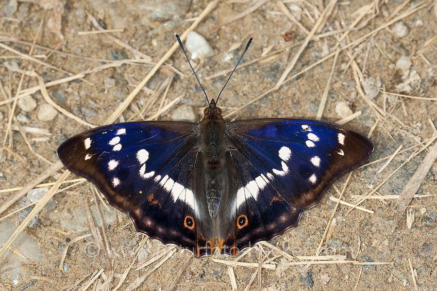 Großer Schillerfalter, Männchen, Apatura iris, Purple Emperor