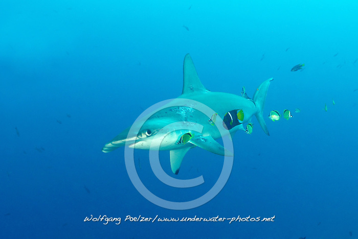 Sphyrna lewini, Holacanthus passer, Johnrandallia nigrirostris, Bogenstirn Hammerhai wird geputzt von Passer Engelfisch und einigen Barbier Falterfischen, Scalloped hammerhead shark getting cleaned by King anglefish and some Barberfish, Insel Malpelo, Kolumbien, Ost Pazifik, Malpelo Island, Colombia, East Pacific Ocean, Santuario de Fauna y Flora Malpelo, UNESCO Weltnaturerbe, Malpelo Nature Reserve, World Heritage Site