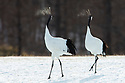 Japan, Hokkaido, red-crowned cranes calling on frosty morning