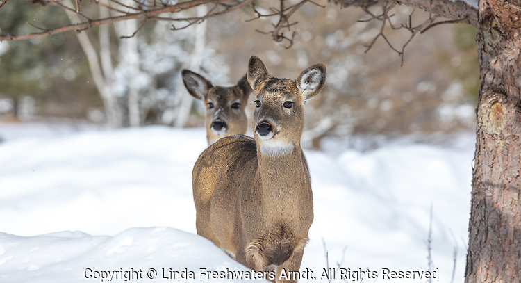 White-tailed deer on a winter's day in northern Wisconsin.