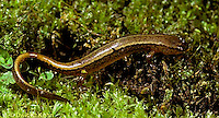 SL05-028b  Northern Two-lined Salamander - Eurycea bislineata