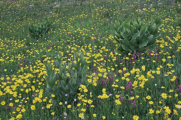 Wildflowers in alpine meadow,Heartleaf Arnica,Arnica cordifolia,False Hellebore,Indian Paintbrush, Bistort, Ouray, San Juan Mountains, Rocky Mountains, Colorado, USA, July 2007