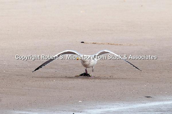American Herring gull in winter plumage, South Beach, Chatham., Massachusetts