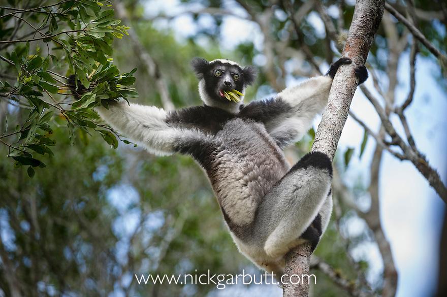Adult Indri (Indri indri) (Endangered) feeding in rainforest canopy. Andasibe-Mantadia NP, east Madagascar. IUCN: Endangered.