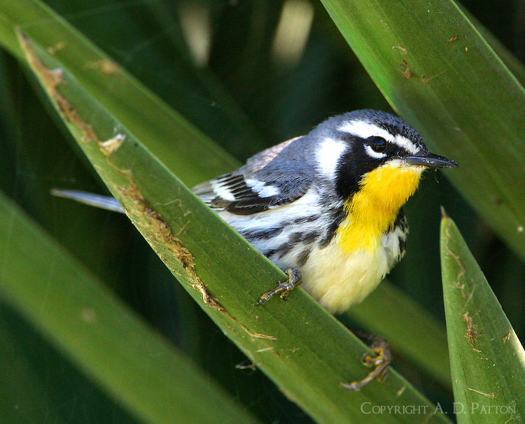 Adult male yellow-throated warbler looking for insects in century plant