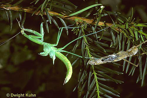 1M30-005z  Praying Mantis molting to adult phase - inflating wings - Tenodera aridifolia sinenesis  © Dwight Kuhn