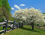 Blue Ridge Parkway, VA: Flowering dogwoods (Cornus florida) alongside weathered split rail fence near Peaks of Otter Visitor Center