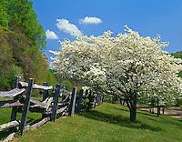 Blue Ridge Parkway, VA: Flowering dogwoods (Cornus florida) alongside weathered split rail fence near Peaks of Otter Visitor Center