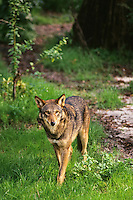 Red Wolf Endangered species.  Southeastern U.S.A. (Canis rufus)