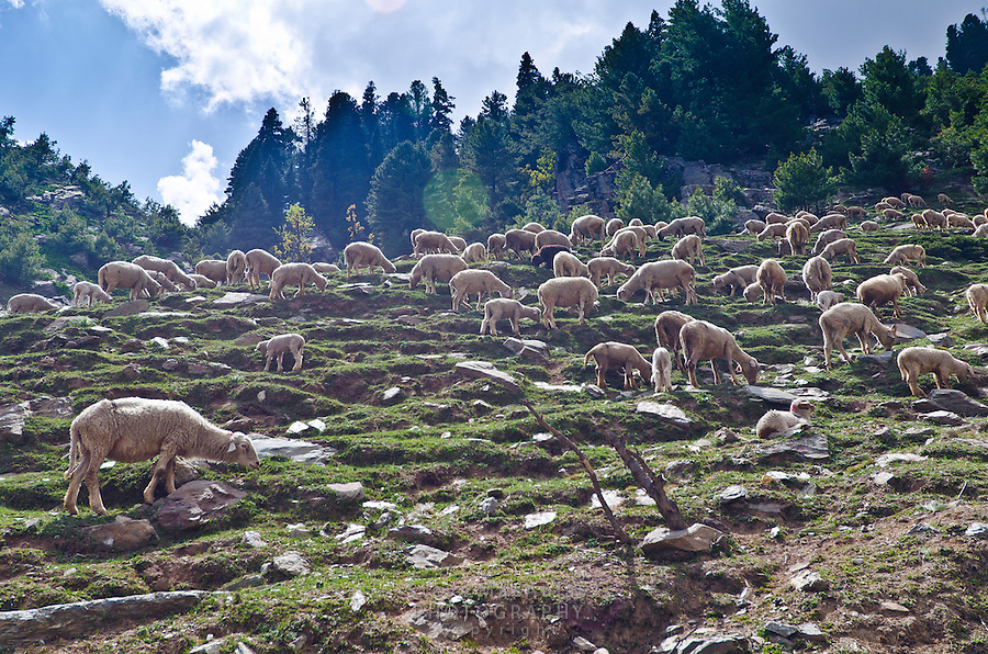 Sheep grazing on rocky mountain slope above the Kanka River, Western Himalayan Mountains, Kashmir, India..