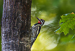 Male yellow-bellied sapsucker climbing an oak tree in northern Wisconsin.