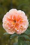ROSA 'THE IMPRESSIONIST', CLIMBING ROSE