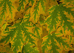 Maple leaves turning into fall color
