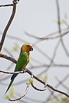 Bonaire, Netherlands Antilles; Brown-throated, or Caribbean Parakeet (Aratinga pertinax) resting in a tree near Goto Meer Lagoon , Copyright © Matthew Meier, matthewmeierphoto.com All Rights Reserved