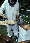 Beekeeper removing honey