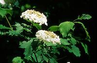 Gemeiner Schneeball, Gewöhnlicher Schneeball, Viburnum opulus, European Cranberrybus, Guelder Rose