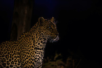 A night capture of Leopard in Sabi Sands Game Reserve in South Africa.