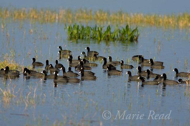 American Coot (Fulica americana), flock, Lake Cypress, Osceola County, Florida, USA