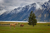 Horses on the Mount Gerald Station & the Hall range in the distance, Tekapo, Mackenzie District, Canterbury, South Island, New Zealand.