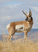 A pronghorn antelope buck surveys the surrounding territory in search of challengers to his harem of does.<br />