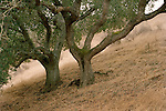 Two oak trees on a sloping hill near Hollister, California