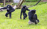 Siamang Affen - Jaderberg 21.07.2020: Tier- und Freizeitpark Jaderpark