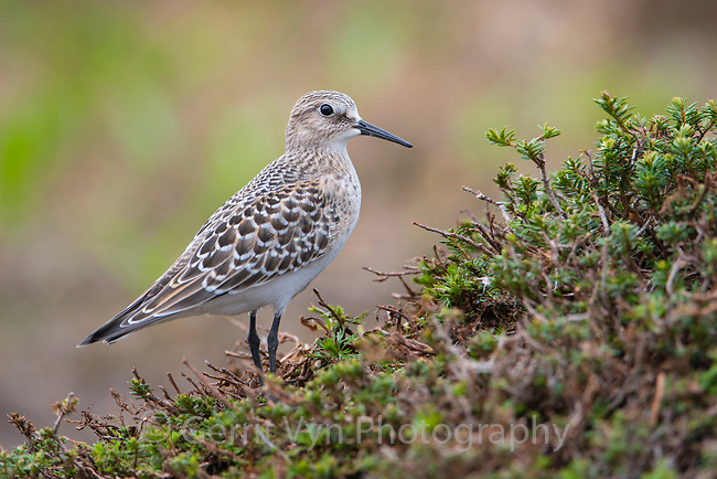 Juvenile Baird's Sandpiper (Calidris bairdii) in alpine tundra during migration. Mount Rainier National Park, Washington. August.