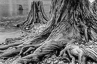 Tree Stumps, Washington