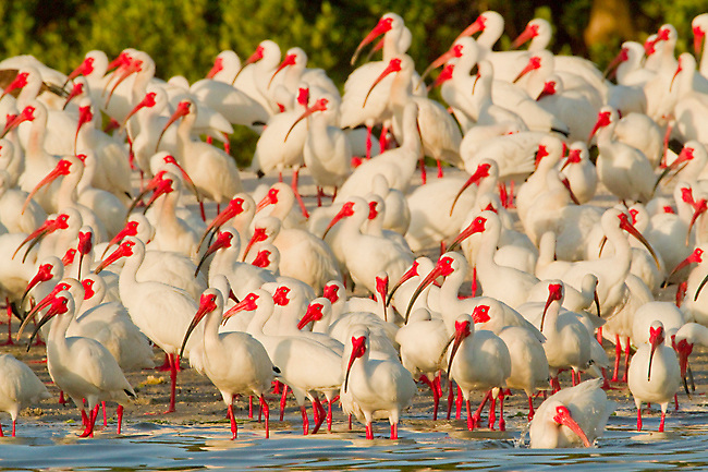 Flock of White Ibis (Eudocimus albus) in breeding plumage, gathering at water's edge of the island that forms their rookery, Tampa Bay, Florida, USA