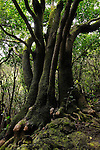The Laurus Canariensis Forest in La Gomera, endemic on the Canary Islands.