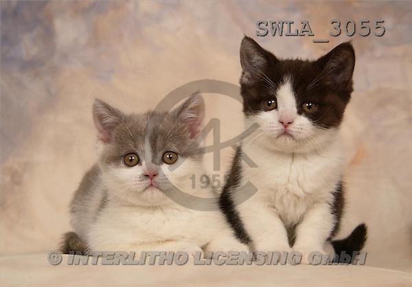 Carl, ANIMALS, photos, 2 kitten(SWLA3055,#A#) Katzen, gatos