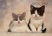 Carl, ANIMALS, photos, 2 kitten(SWLA3055,#A#) Katzen, gatos