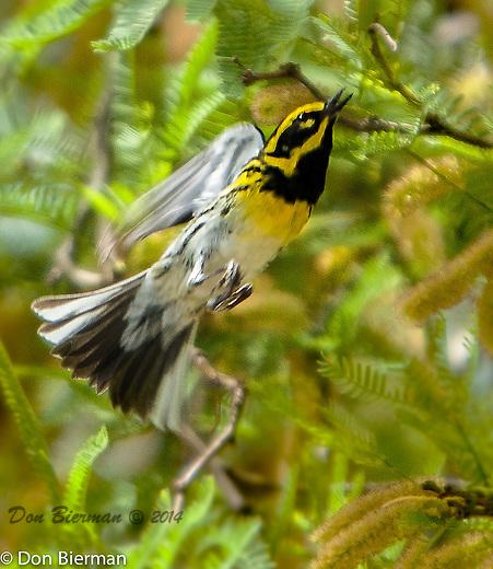 Sonoran Vista. Townsend's Warbler<br /> Dendroica townsendi<br /> Order Passeriformes<br /> Family Parulidae: Wood-Warblers