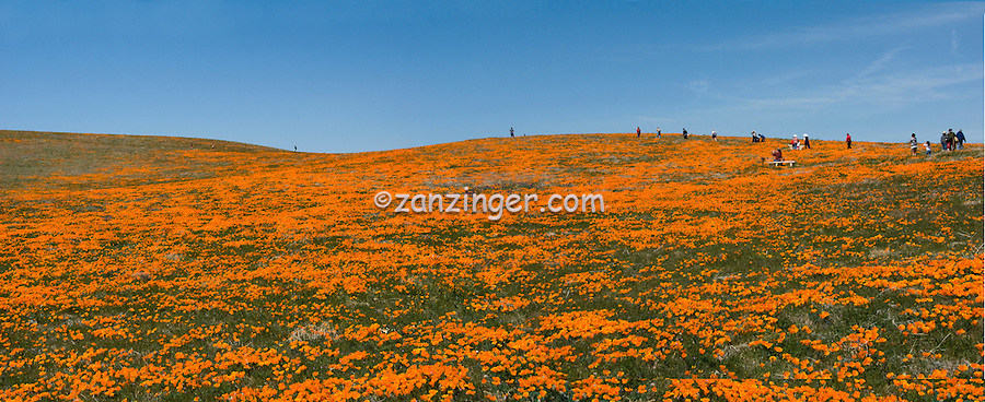 California Poppy, Field, panorama CGI Backgrounds, ,Beautiful Background