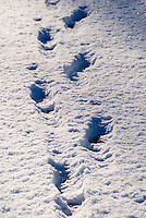Footprints in fresh fallen snow following a snowstorm in the Pacific Northwest United States at Monroe, Washington/