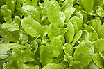 Lettuce plants close up