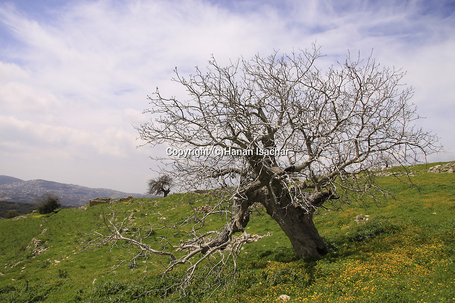 Israel, Upper Galilee, Walnut tree (juglans regia ) at Hurvat Beck on Mount Meron