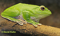 1217-07tt  Chinese Gliding Frog - Polypedates dennysi - © David Kuhn/Dwight Kuhn Photography.