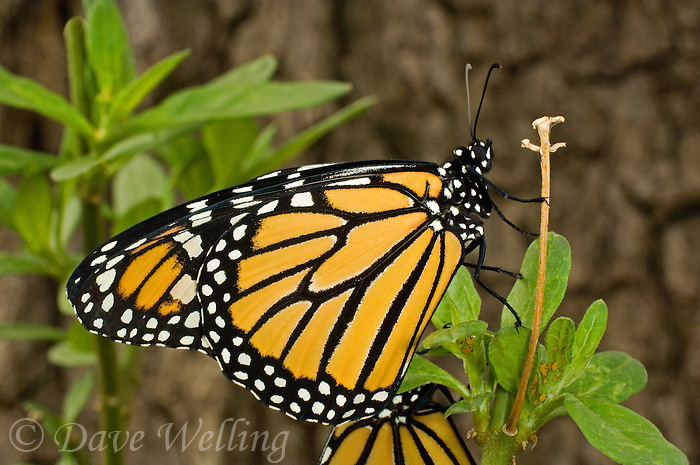 321000070 a wild newly hatched monarch butterfly danus plexippus hang from a small plant stem in the texas hill country texas