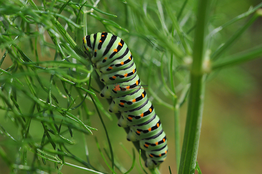 Butterfly Caterpillar Papilio machaon, harmful for agriculture