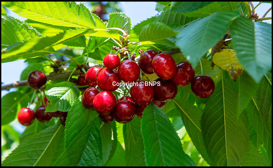 BNPS.CO.UK (01202 558833)<br /> Pic: PhilYeomans/BNPS<br /> <br /> Stunning year for British cherries...<br /> <br /> As easy as picking cherries…<br /> <br /> An outdoor cherry farm is celebrating a bumper crop in this year's heatwave - making up for the previous year when the delicate fruit was wiped out by bad weather.<br /> <br /> Businesswomen Hayley Davis and Laurie Griffin harvest six different varieties from 5,000 trees on farmer John Hawkins farm in Dorset, and the hot summer has provided perfect conditions to ripen a record harvest.<br /> <br /> Falconer Mike Coleman has even been brought in to provide aerial protection to the tasty crop as the delicious berries are as popular with birds as with the Great British public.