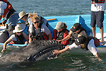women touching a gray whale calf