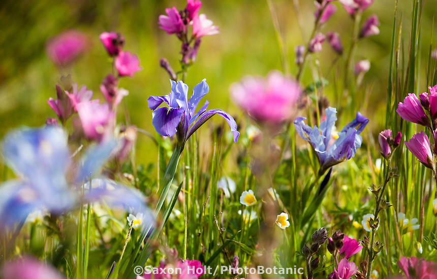 Wildflowers,  blue  iris, Iris douglassii with pink checkerbloom (Sidalcea) in Menzies california native plant garden, San Francisco Botanical Garden