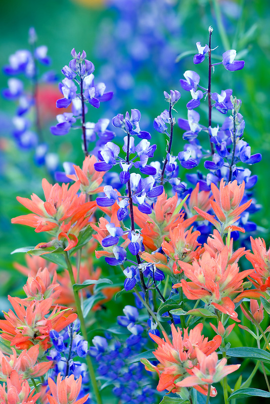 Lupine and paintbrush. Hurricane Ridge. Olympic National Park. Washington.