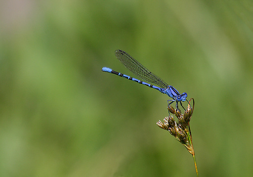 A VIVID DANCER DAMSELFLY AT YELLOWSTONE NATIONAL PARK,WYOMING