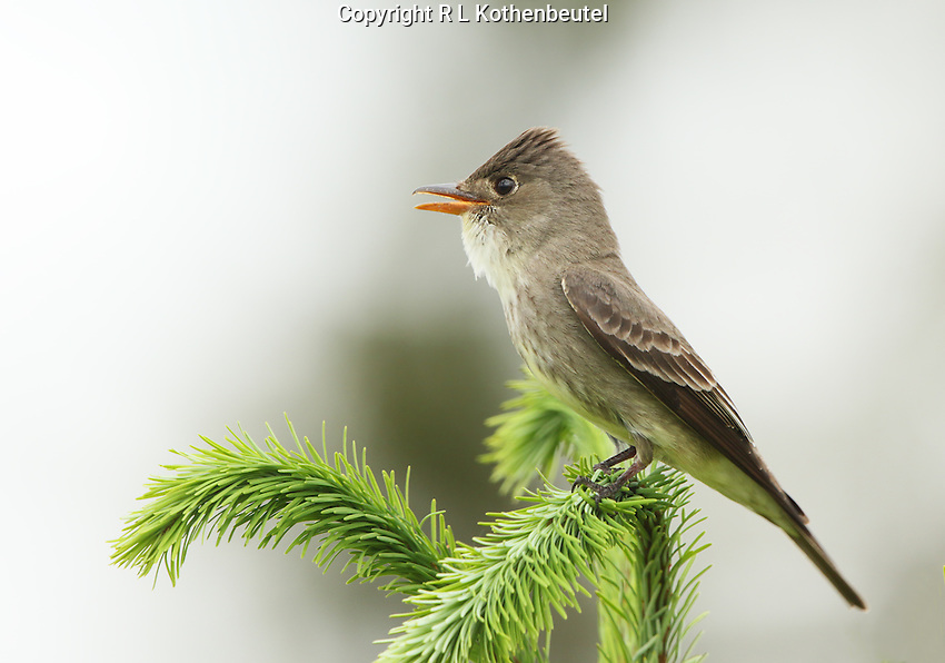 A male olive-sided flycatcher calls from he top of a Douglas fir tree.<br /> Capital Forest near Olympia, Washington<br /> 6/3/2015